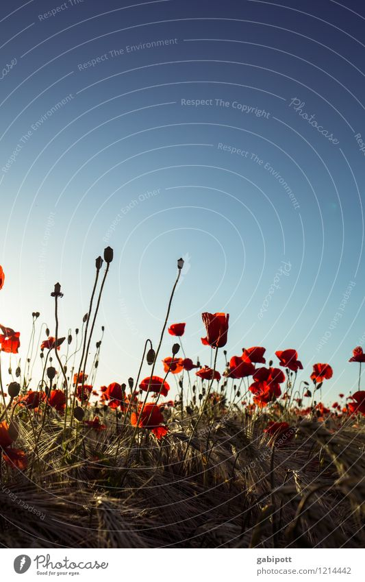Mohn muss man haben Umwelt Natur Landschaft Pflanze Erde Himmel Wolkenloser Himmel Sommer Schönes Wetter Blume Klatschmohn Kornfeld Wiese Feld Blühend Duft