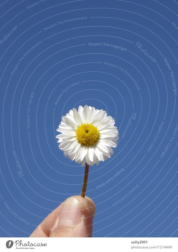 with love... Finger Wolkenloser Himmel Sommer Schönes Wetter Blume Blüte Gänseblümchen Blühend festhalten Liebe leuchten Freundlichkeit Fröhlichkeit schön