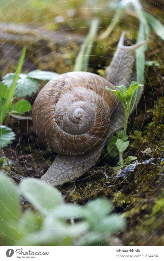 Schnecke schafft den Aufstieg Pflanze grün Tier Bewegung natürlich grau braun Erde Wildtier weich Neugier Appetit & Hunger krabbeln Willensstärke schleimig