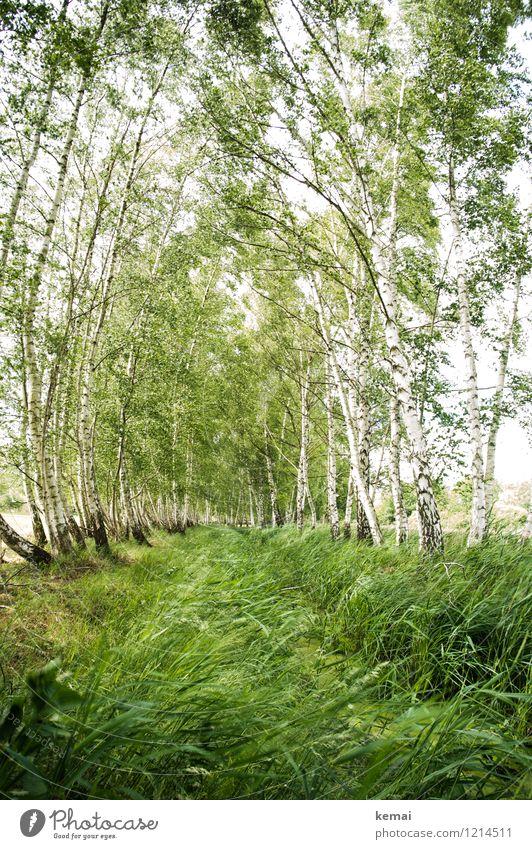 Spreedorado | Bewegung im Birkenhain Umwelt Natur Landschaft Pflanze Urelemente Sommer Schönes Wetter Baum Gras Wildpflanze Birkenwald Wiese Wald Spreewald