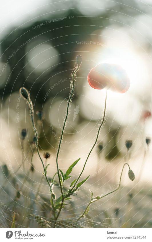 Spreedorado | Die Formen die Mohns Umwelt Natur Pflanze Sonne Sonnenaufgang Sonnenuntergang Sonnenlicht Sommer Schönes Wetter Blüte Wildpflanze Mohnblüte