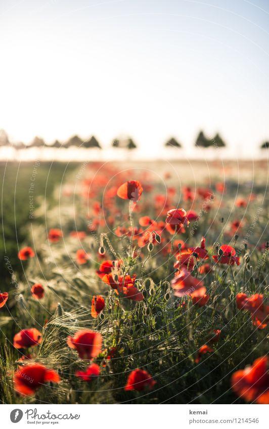 Spreedorado | Mohn und Hütchen Umwelt Natur Landschaft Pflanze Wolkenloser Himmel Sonne Sonnenaufgang Sonnenuntergang Sonnenlicht Sommer Schönes Wetter Wärme