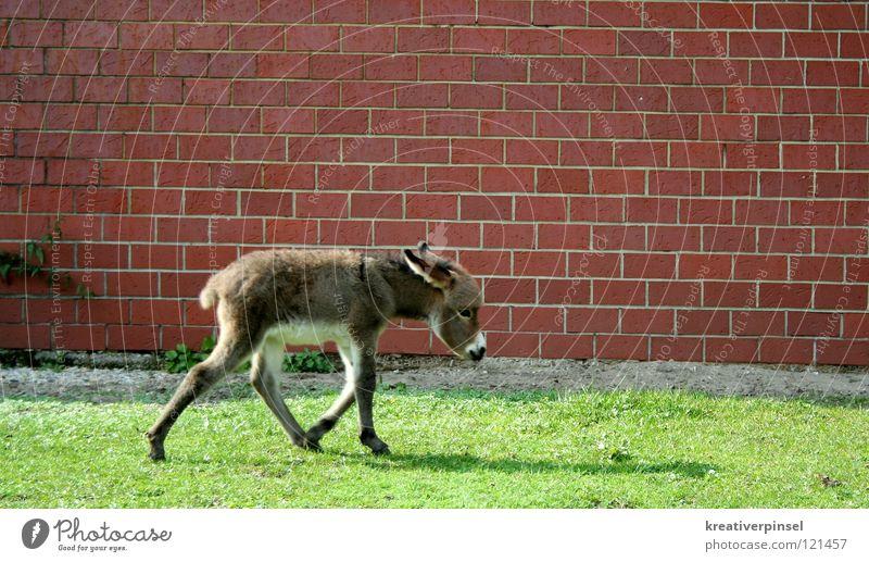 esel an der mauer Sommer Zoo Natur Tier Gras Wiese Mauer Wand gehen laufen Traurigkeit braun grau grün rot weiß Trauer Zaun Muli Rasen Esel Schatten Tierjunges