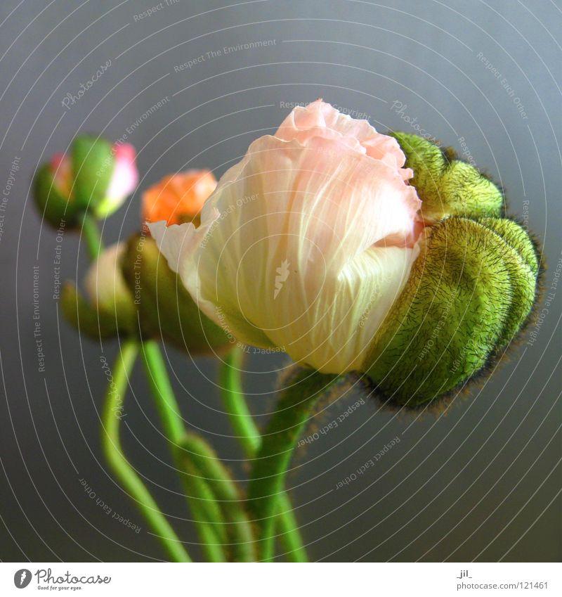 fünf mohnblumen schön grün grau orange rosa rund Mohn Mohnblüte hellgelb