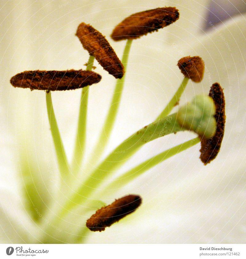 Hochzeitsblumen Natur Pflanze Tier Frühling Sommer Blume Blüte exotisch Park Wiese hell nah braun grün Lilien Stengel 6 3 Staubfäden Botanik Stempel Nektar