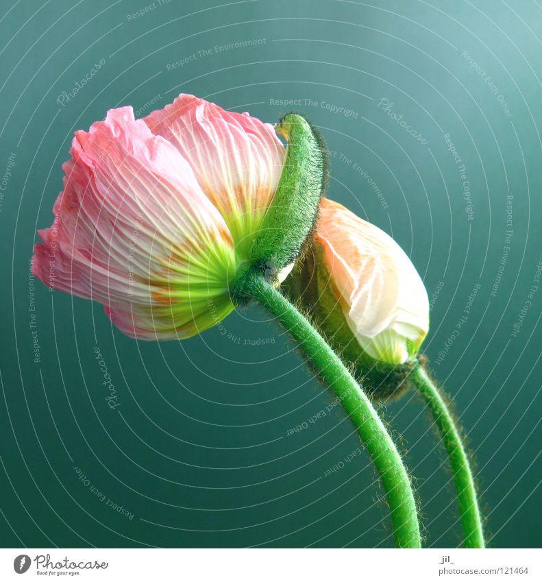 zwei mohnblumen schön Blume grün gelb grau orange rosa Mohn türkis Mohnblüte
