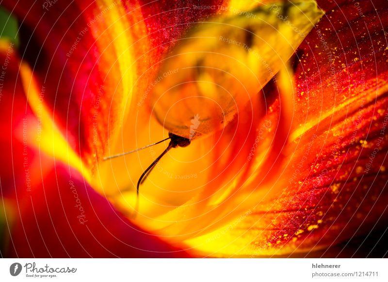 Wolkenlos Schwefel Phoebis Senna; schön Sommer Natur Pflanze Tier Schönes Wetter Blume Blüte Schmetterling Flügel füttern natürlich wild gelb rot Farbe