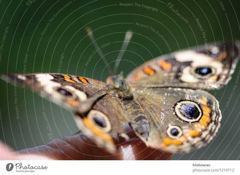 Gemeine Rosskastanie Junonia Coenia schön Sommer Umwelt Natur Tier Blume Schmetterling Flügel natürlich blau braun gelb grün schwarz weiß Farbe Symmetrie