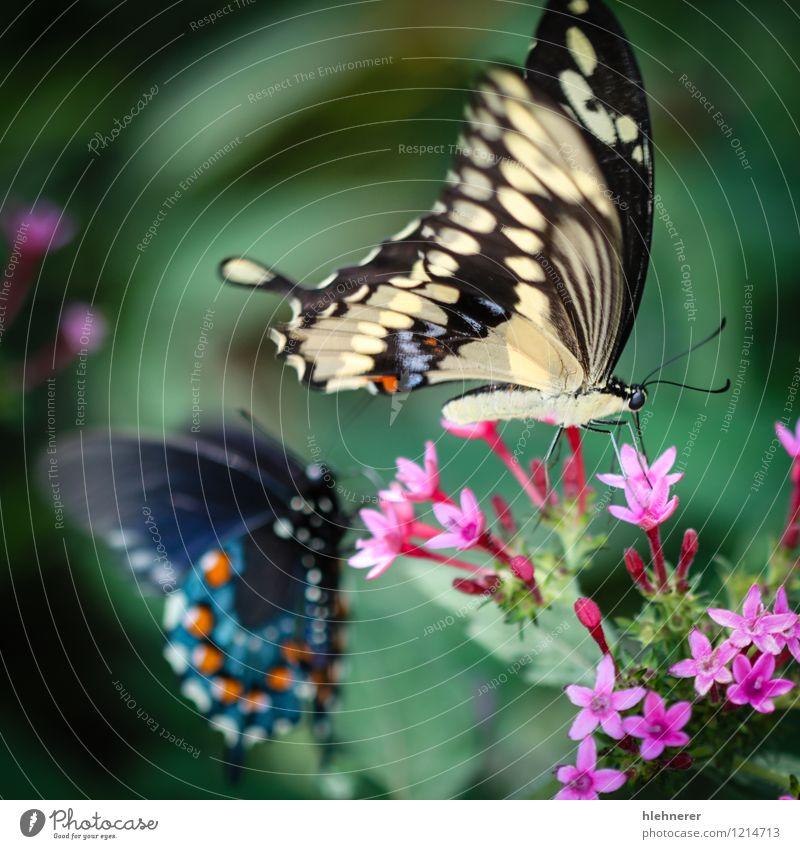 Riesenschwalbenschwanz Papilio Cresphontes schön ruhig Sommer Umwelt Natur Pflanze Tier Blume Schmetterling füttern natürlich blau gelb grün rot schwarz weiß