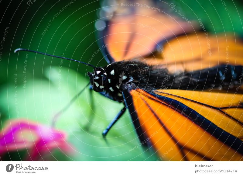 Monarch Danaus Plexippus schön ruhig Garten Natur Pflanze Tier Blume Antenne Schmetterling Flügel natürlich grün schwarz weiß Gelassenheit Farbe orange vertikal