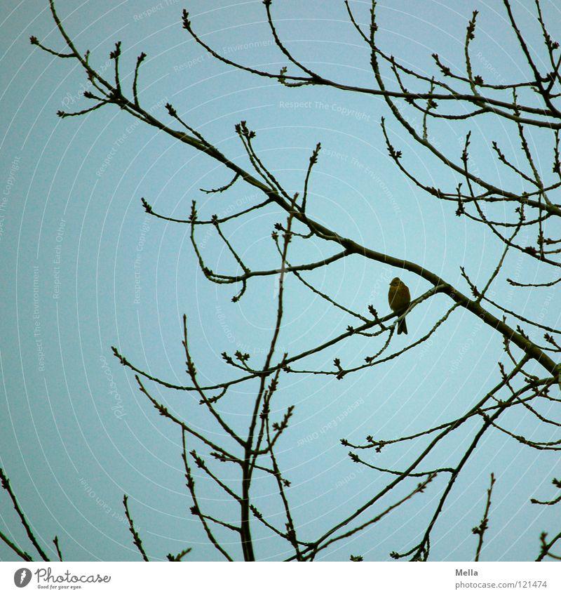Finkenwinter II Vogel Grünfink Baum Sträucher Geäst hocken Einsamkeit Ornithologie geschwungen gekrümmt Winter überwintern Himmel Ast Zweig sitzen Blick