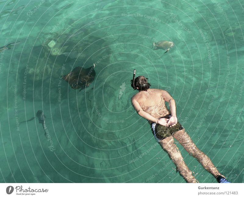 Am Rochen gerochen Adler Rochen Malaysia Meer Schnorcheln Tauchgerät tauchen Badehose Tier Taucher Schnorchler beobachten Wassersport ray eagle ray Borneo