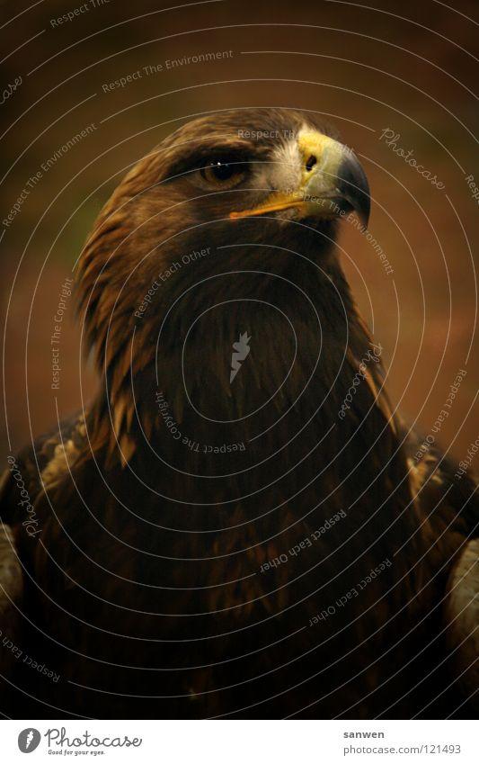 eagle schön Auge braun Vogel fliegen groß Luftverkehr Feder Flügel edel Schnabel Anmut Adler beeindruckend Greifvogel Wappentier