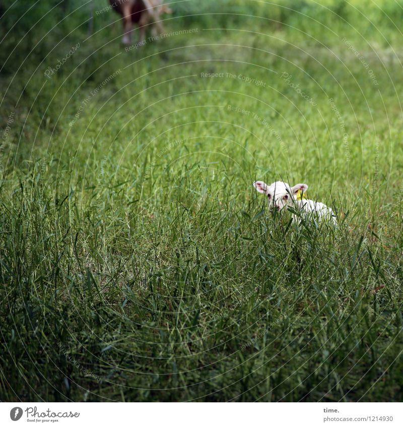 Spreedorado | Kinderstube Wiese Weide Tier Nutztier Tiergesicht Kalb 1 beobachten liegen Blick warten schön Wachsamkeit Gelassenheit geduldig ruhig