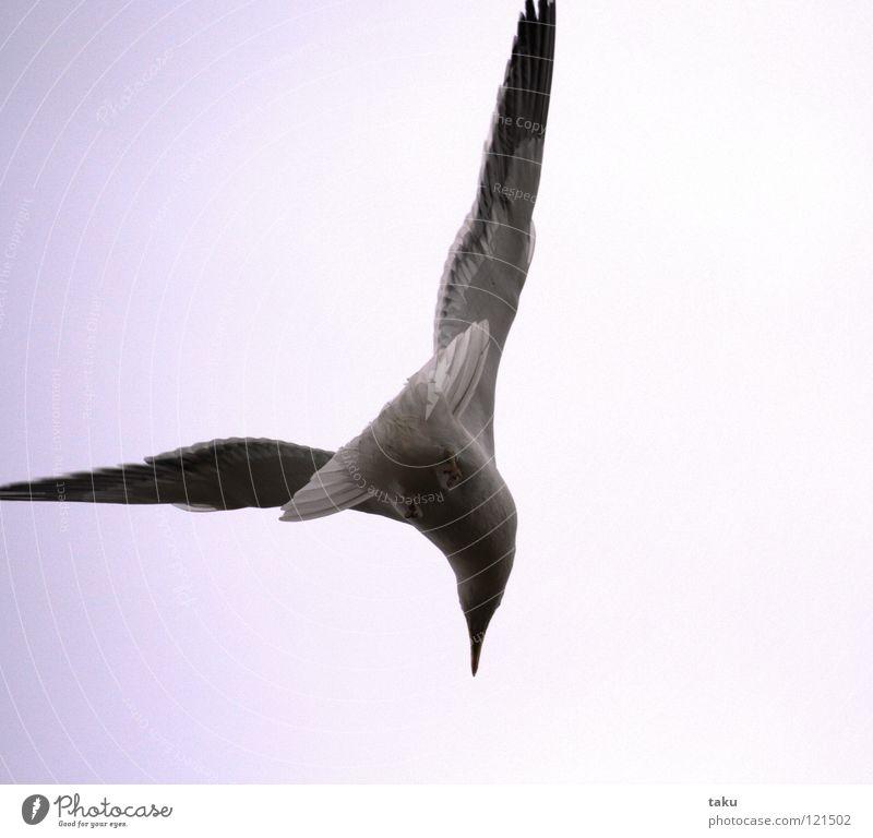 SEAGULL Meer Strand Vogel Wellen Appetit & Hunger Angeln Brandung laut Neuseeland Rauschen Lachmöwe Sturzflug