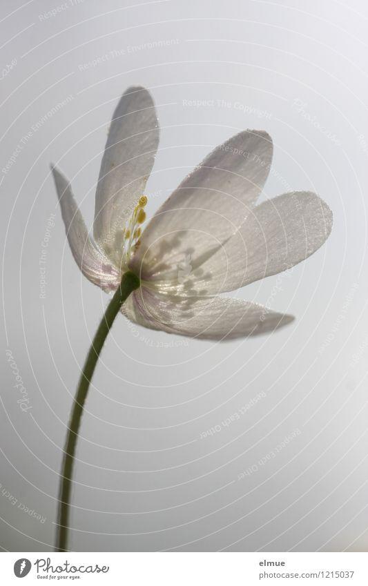 Buschwindröschen Natur Pflanze Frühling Schönes Wetter Blume Blüte Wildpflanze Sonnenlicht Frühlingsblume Neuanfang aufwachen hell Jahreszeiten ästhetisch gelb