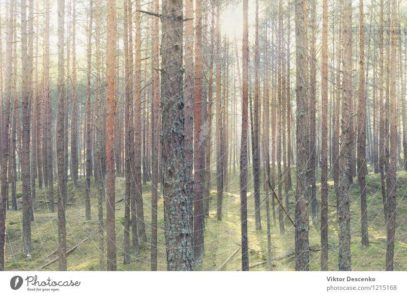 Die Frühlingssonne scheint durch eine Reihe von Kiefern schön Sonne Natur Landschaft Pflanze Baum Park Wald Wege & Pfade natürlich grün Licht Sonnenschein