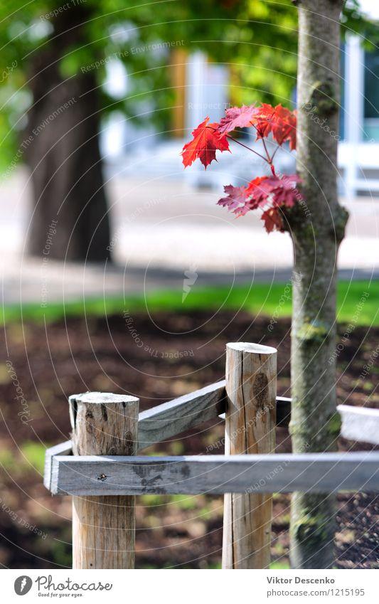 Rotahorn auf einem jungen Baum in der Stadt schön Sonne Garten Natur Pflanze Himmel Herbst Gras Blatt Park Wachstum natürlich blau gelb grün rot Farbe Ahorn