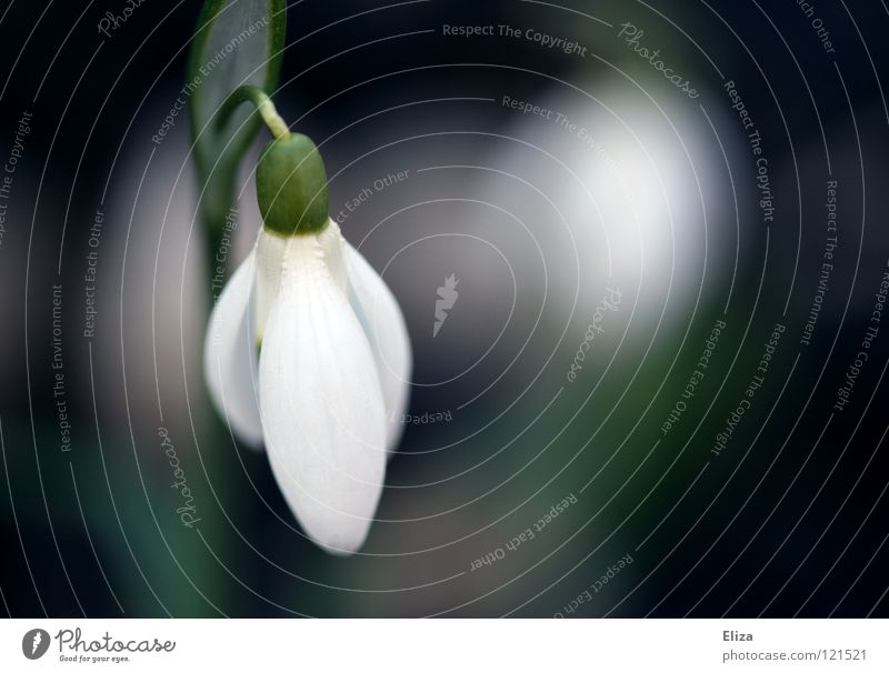Hängendes Köpfchen Schneeglöckchen Frühling Blume kalt Februar März zart klein grün Stengel Blütenblatt weiß rein verwundbar violett Blühend Natur
