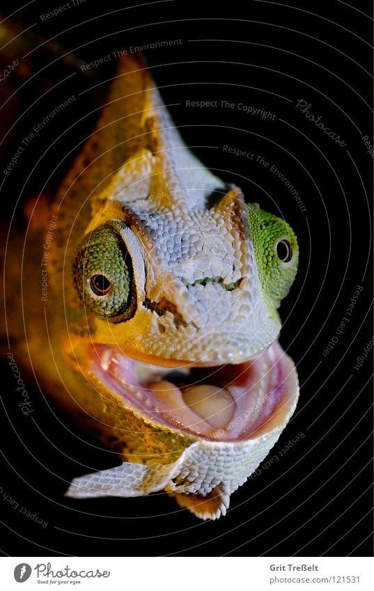Bei der Häutung grün Auge lachen Haut Reptil Echsen Gesichtsausdruck häuten Chamäleon Fetzen