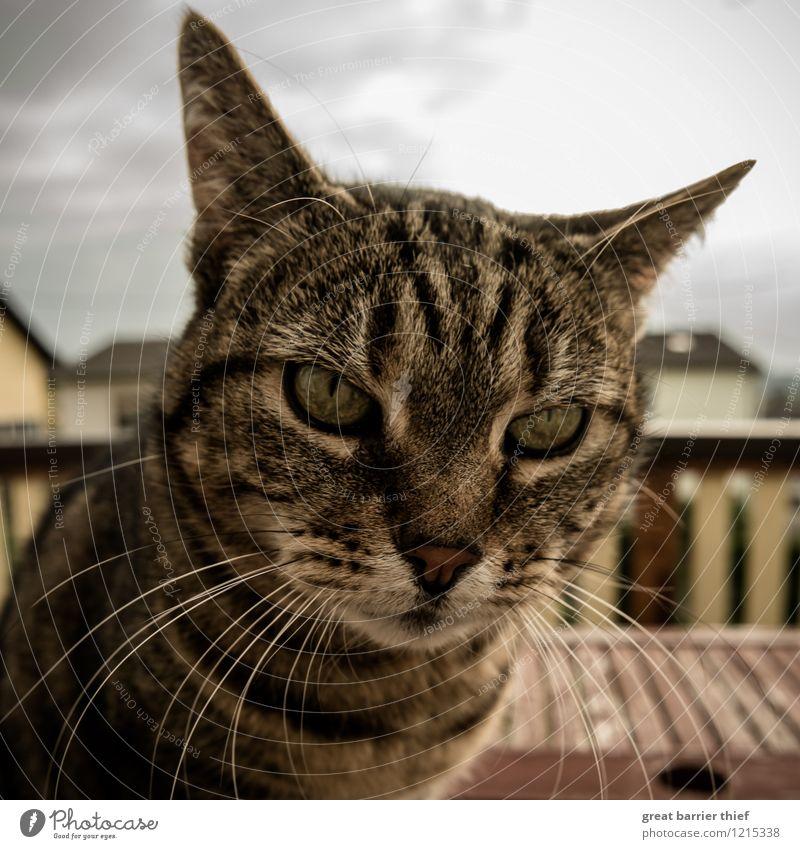 Katze spitzt die Ohren Tier Haustier Fell 1 beobachten Erholung Blick sitzen braun gelb gold Katzenkopf Katzenauge Balkon Farbfoto mehrfarbig Außenaufnahme