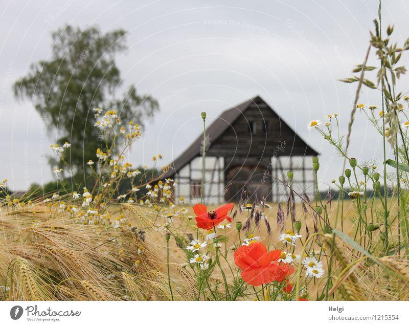 Sommer auf dem Land... Umwelt Natur Landschaft Pflanze Himmel Schönes Wetter Baum Blume Blüte Getreide Gerste Feld Dorf Menschenleer Gebäude Fachwerkhaus