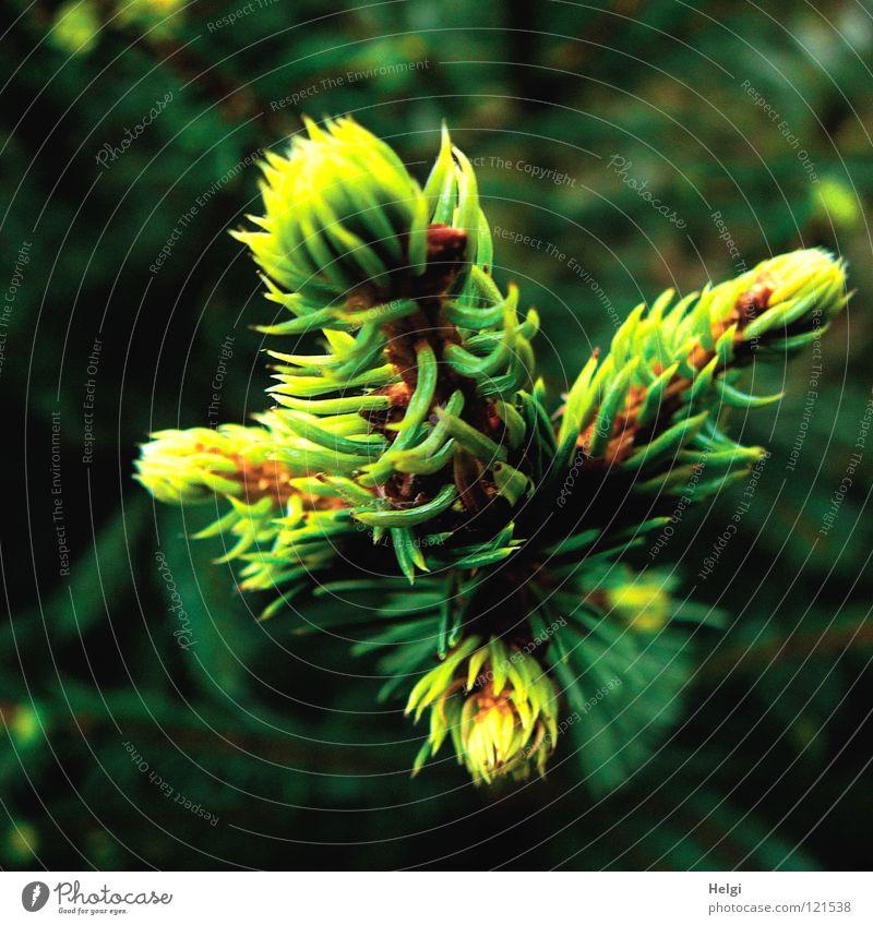 frisches Grün... Natur grün Baum Pflanze Park Wachstum Vergänglichkeit Ast Tanne Zweig Blütenknospen Trieb wegfahren Nadelbaum Tannennadel Nadelwald