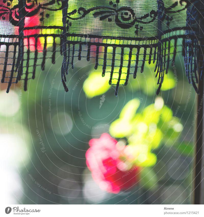 Ich schau aus dem Fenster... Pflanze Schönes Wetter Blume Rose Vorhang Gardine Spitze Zeichen Ornament Rosenmuster Blumenmuster Dekoration & Verzierung Blühend