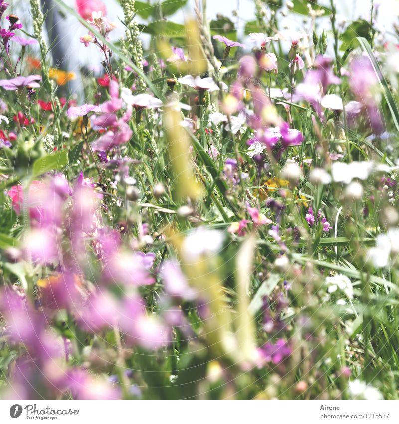 Floras Füllhorn II Pflanze Blume Wiesenblume Blumenwiese Blühend Wachstum Freundlichkeit hell grün rosa Natur überschüssig viele Farbfoto Außenaufnahme