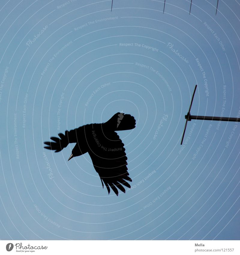 Abflug Himmel blau schwarz Vogel fliegen Luftverkehr Technik & Technologie Feder Flügel Antenne Schüchternheit Abheben erschrecken Rabenvögel Krähe flüchten