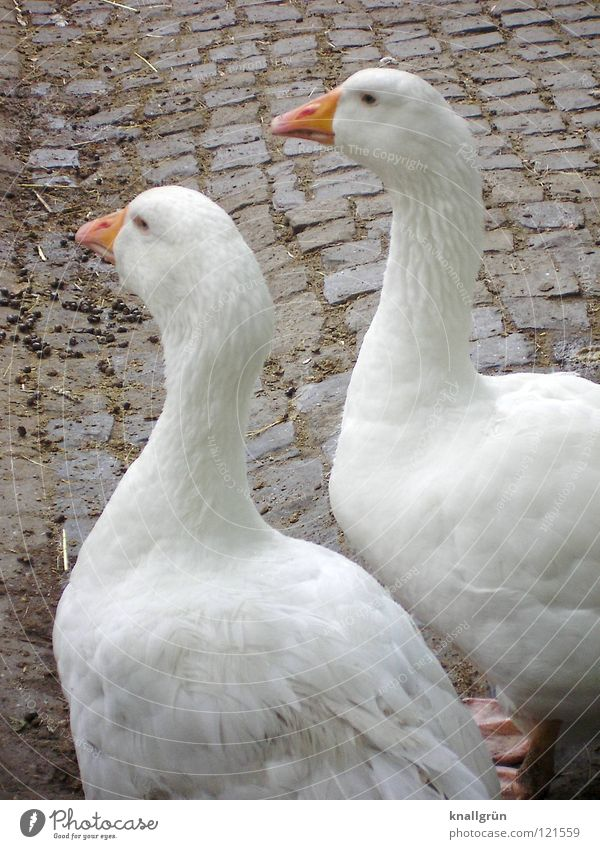 Together forever Gans 2 Hausgans weiß Feder Zoo Gehege Vogel Anserinae Wasservogel Goose orange