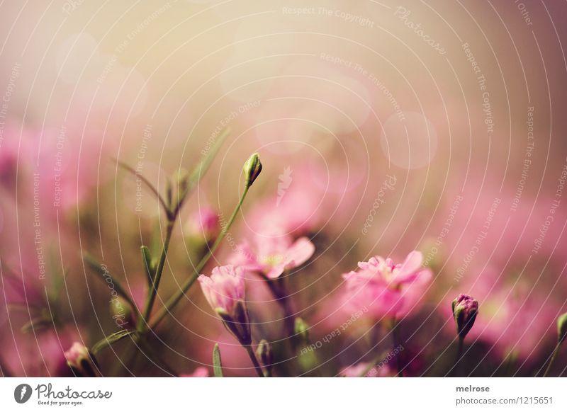 Sommerbrise elegant Stil Natur Pflanze Blume Blüte Blütenknospen Blütenstiel Blumenschale Garten Unschärfe Lichtpunkt berühren Blühend glänzend genießen