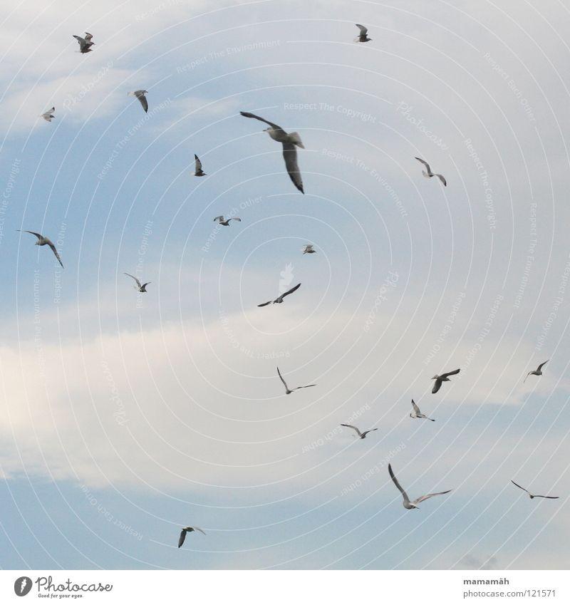 Die Vögel Vogel Wolken Luft Schweben erschrecken gleiten flattern Möwe fliegen Luftverkehr Himmel birds