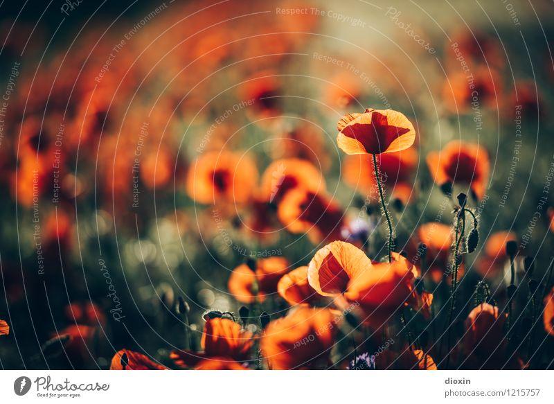 Spreedorado | Abendmohn Umwelt Natur Pflanze Blume Blüte Mohn Mohnblüte Mohnfeld Mohnkapsel Klatschmohn Feld Blühend natürlich Romantik Farbfoto Außenaufnahme