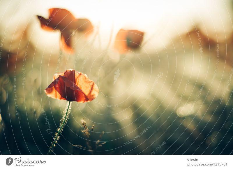 Spreedorado | Mohnlicht Umwelt Natur Pflanze Blume Blüte Wildpflanze Mohnblüte Mohnfeld Blühend Duft natürlich Wärme Farbfoto Außenaufnahme Menschenleer