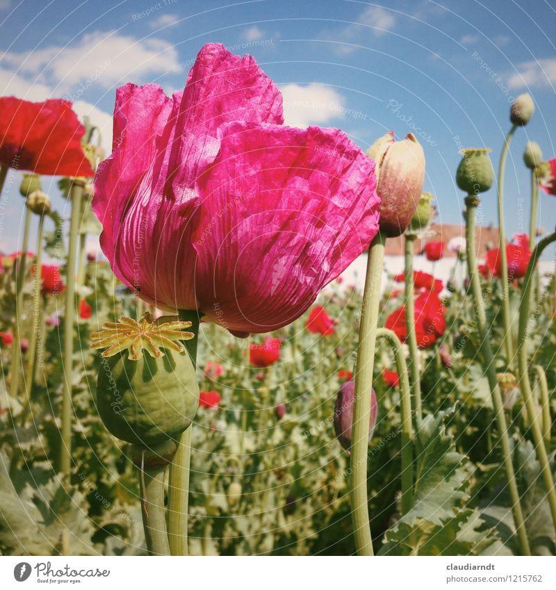 Poppy Umwelt Natur Pflanze Himmel Sonne Sommer Schönes Wetter Blume Blüte Mohn Mohnblüte Mohnfeld Mohnkapsel Mohnblatt Garten Feld Blühend schön rosa rot