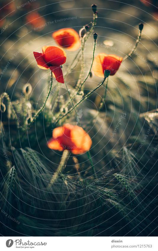 Spreedorado | Marilyn Mohnroe Natur Pflanze Blume Umwelt Wärme Blüte natürlich Feld Blühend Getreide Duft Mohn Nutzpflanze Wildpflanze Getreidefeld Roggen