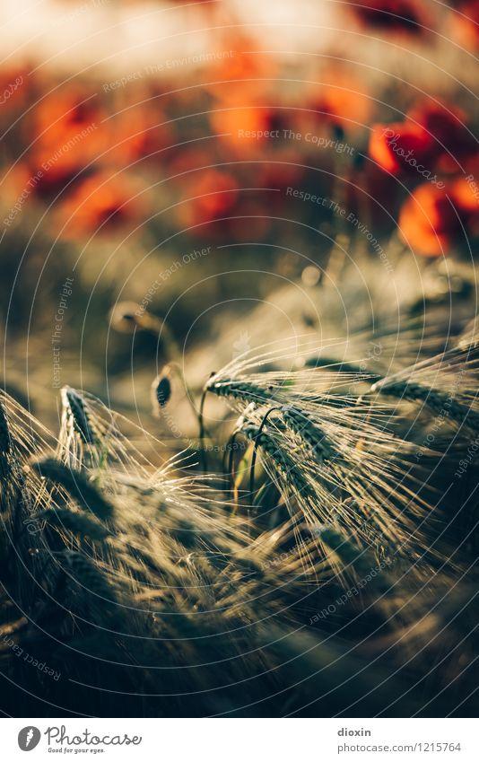 Spreedorado | Statisten Natur Pflanze Blume Umwelt Blüte Lebensmittel Feld Blühend Getreide Bioprodukte Duft Mohn Brot Vegetarische Ernährung Nutzpflanze