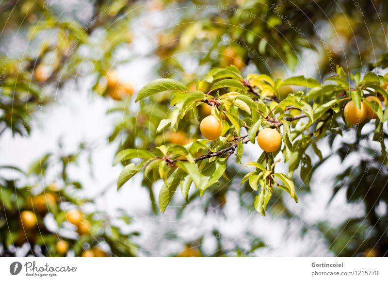 Gelbfrucht Sommer Baum Nutzpflanze gelb grün Mirabelle Frucht Obstbaum süß Blatt Farbfoto Außenaufnahme Menschenleer Schwache Tiefenschärfe