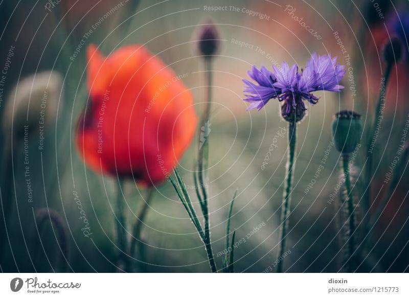 Spreedorado | tragende Nebenrolle Umwelt Natur Pflanze Blume Blüte Mohn Mohnblüte Kornblume Kornfeld Feld Blühend Duft Wachstum schön Farbfoto Außenaufnahme