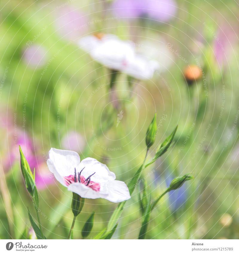 Gruß von Flora 1 Pflanze Blume Wildpflanze Wiesenblume Blumenwiese Blühend Wachstum Duft Freundlichkeit hell grün orange rosa weiß Natur hellgrün Pastellton