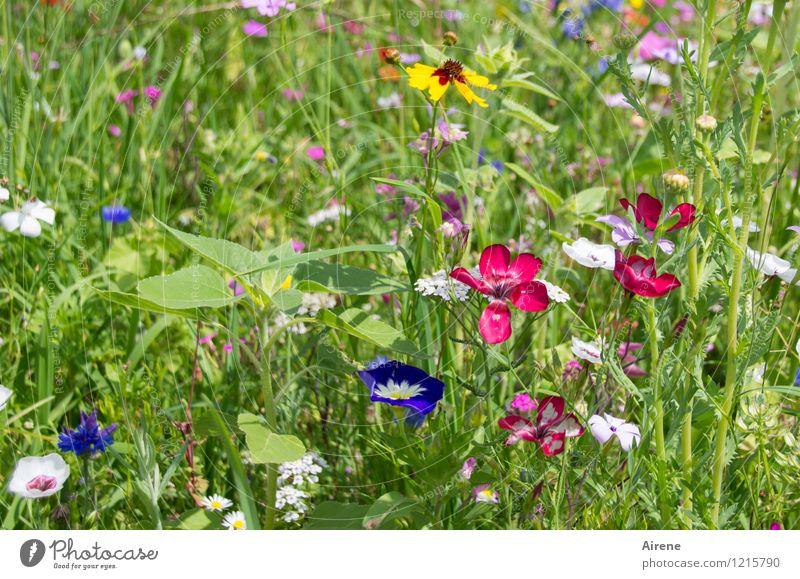 Flora schüttet weiter Pflanze Schönes Wetter Blume Wiesenblume Blumenwiese Blühend Wachstum Freundlichkeit hell mehrfarbig grün Duft Farbe Natur Farbfoto