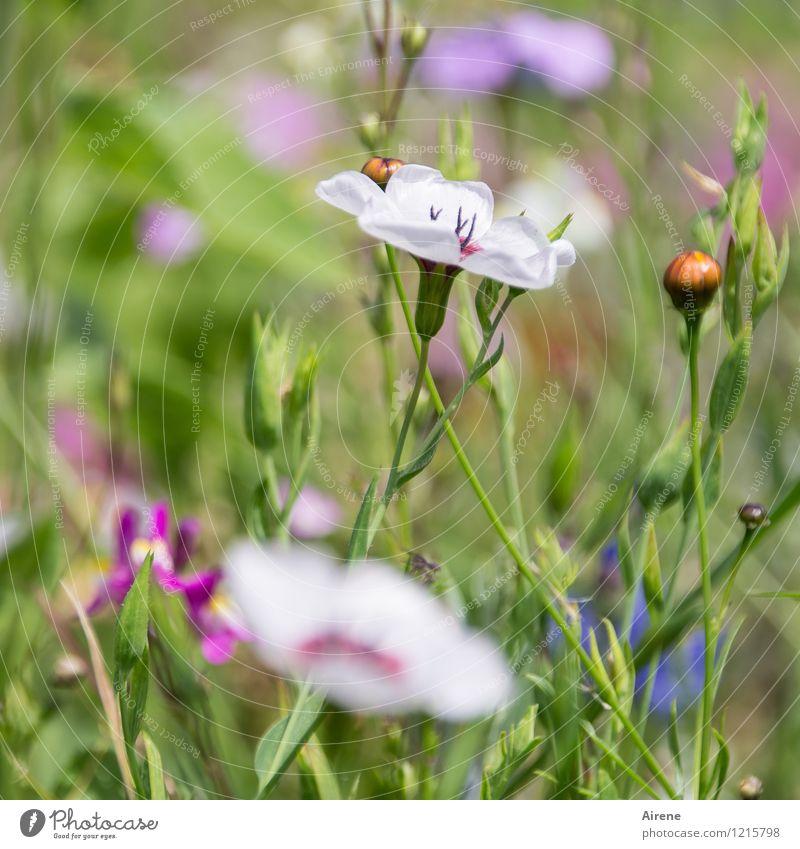 Floras Füllhorn V Pflanze Blume Wiesenblume Blumenwiese Blühend Wachstum Freundlichkeit hell grün rosa weiß Natur Farbfoto Außenaufnahme Nahaufnahme