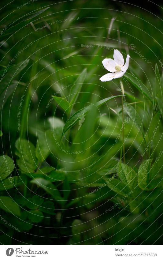 der kleine, weiße Riese Natur Pflanze schön grün Sommer weiß Blume Blatt Blüte Gras klein Garten hell Park einzeln Blühend