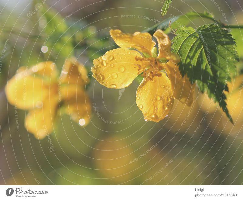 Ranunkelstrauch Umwelt Natur Pflanze Wassertropfen Frühling Sträucher Blatt Blüte Garten Blühend glänzend leuchten Wachstum ästhetisch schön nass natürlich gelb