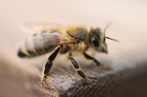Der Honigsammler Tier Umwelt Stimmung Flügel Insekt Fell Biene Tiergesicht Pollen Tierschutz Bienenstock Honigbiene Imkerei Insektenschutz