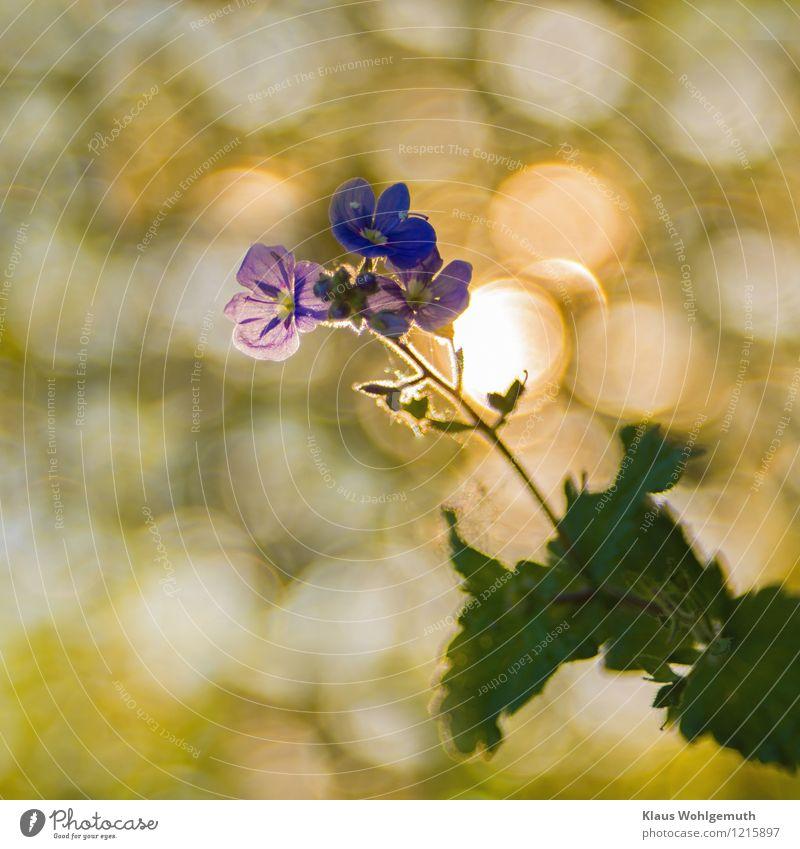 Nah dran Umwelt Natur Pflanze Frühling Sommer Schönes Wetter Blume Wildpflanze Gamander-Ehrenpreis Blühend leuchten blau gelb grün türkis weiß Farbfoto
