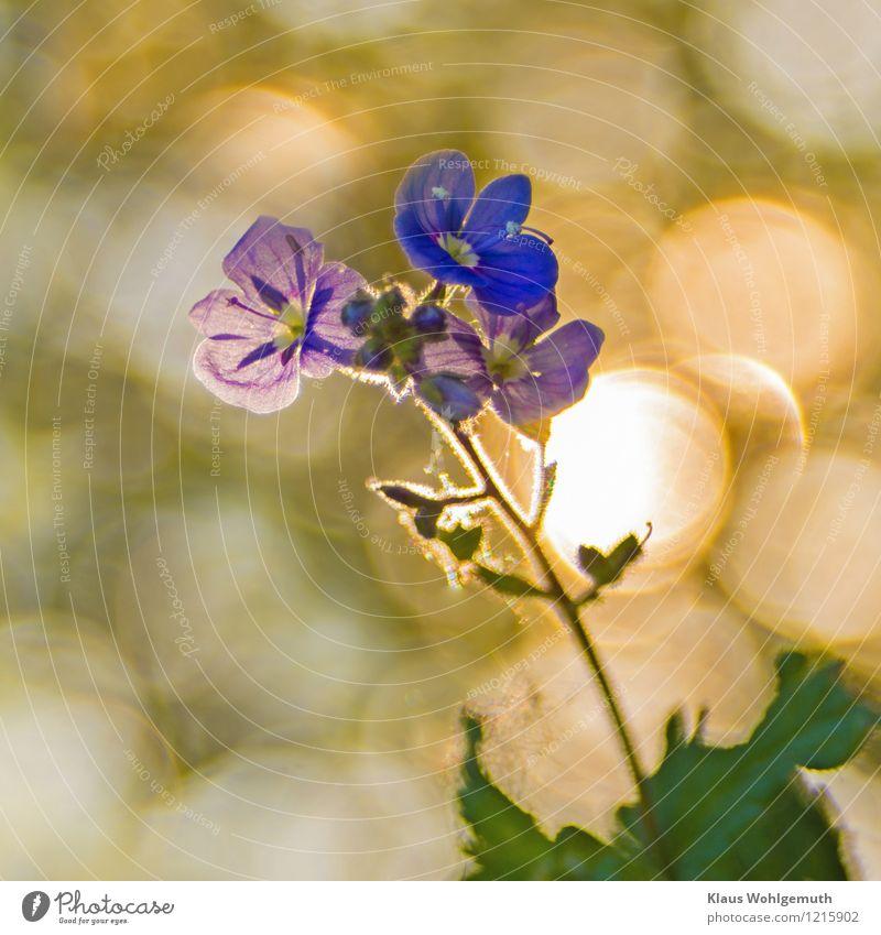 Noch näher Umwelt Natur Frühling Sommer Schönes Wetter Pflanze Blüte Wildpflanze Ehrenpreis Gamander-Ehrenpreis Park Wiese Blühend leuchten blau gelb grün