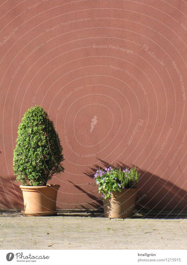 Schattig Pflanze Grünpflanze Topfpflanze Mauer Wand Fassade Blumentopf Terrakotta Blühend stehen Stadt braun grün Farbe Schatten mediterran Farbfoto