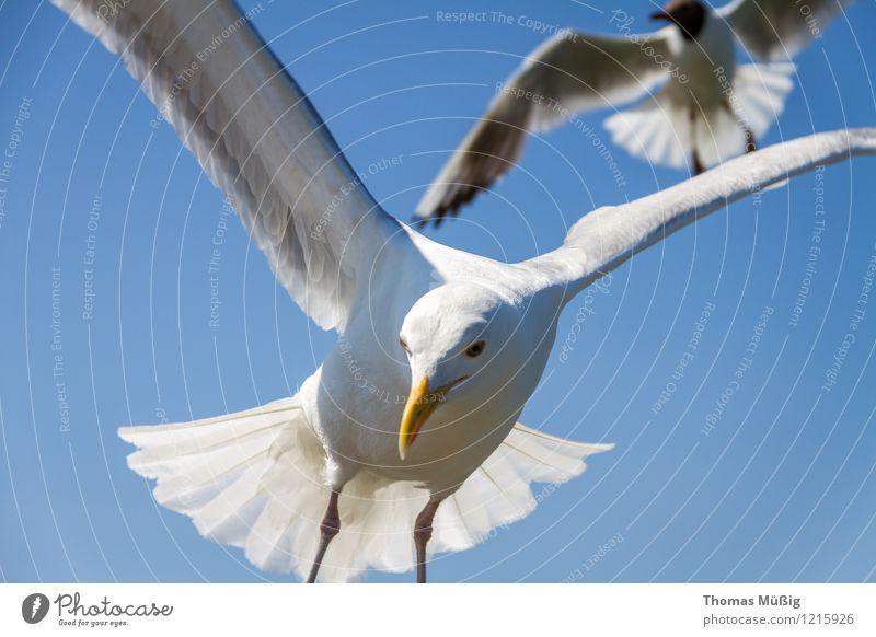 Möwen Ostsee fliegen Jagd blau grau weiß Tierliebe schön Leichtigkeit Mobilität Binz auf Rügen Dominikanermöve Feder Larus dominikanus Mantelmöve Möve